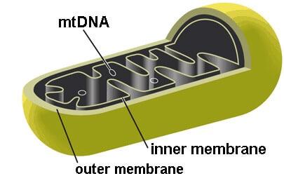 mtDNA, inner membrane, outer membrane